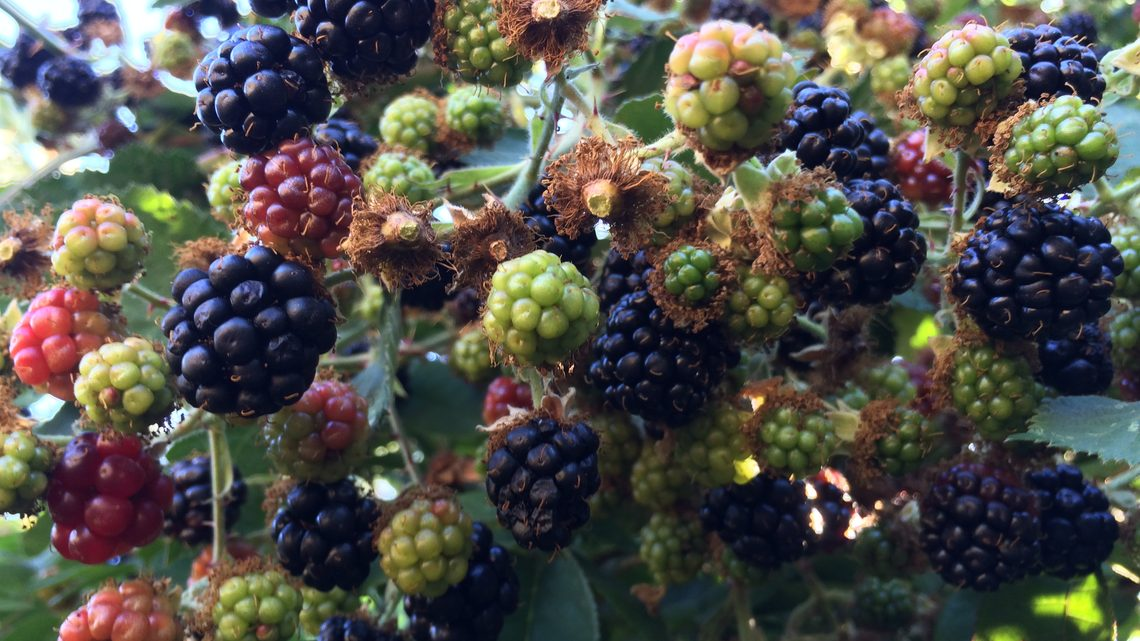 A close-up of berries on the farm