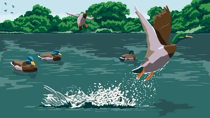 Illustration of ducks and decoys on a river